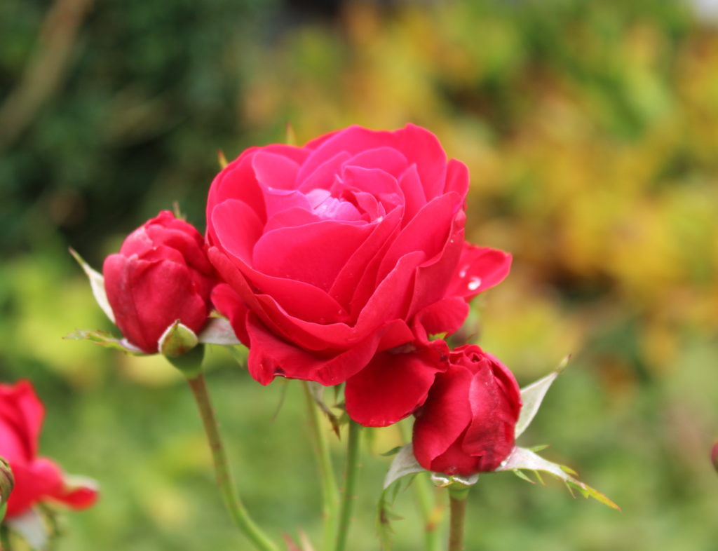 Herbstimpressionen Rote Rose