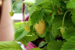 Gelbe Erdbeere